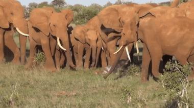 Слоны приветствуют новорожденного сородича