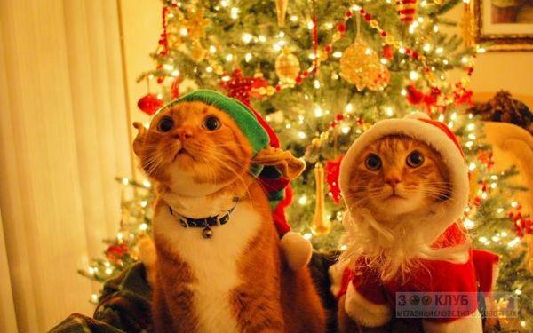 С наступающим, дорогой пикабушник. поздравление, новый год, кот