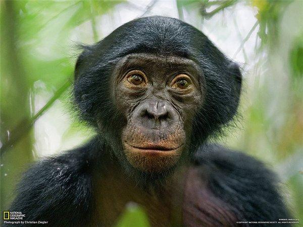 Существует ли в природе групповой секс обезьян