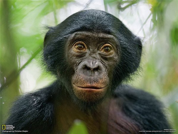 Секс карликовых шимпанзе видео