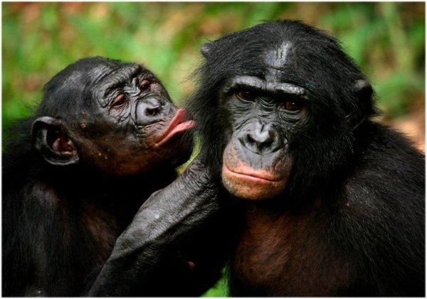 Бонобо в сексе видео