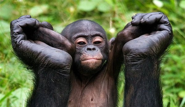 Видео с сексом бонобо