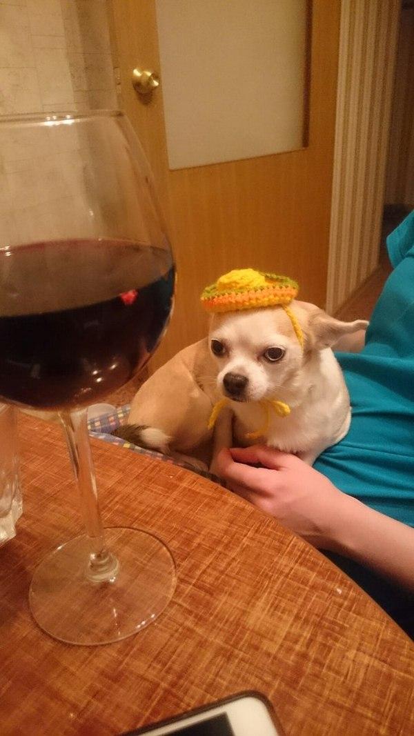 Ответ котикам в мишуре Чихуахуа, Сомбреро, Вино, Санкт-Петербург, Собака