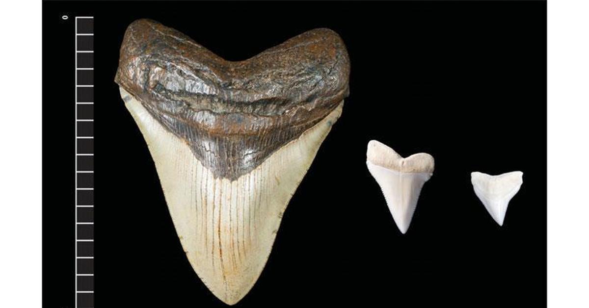 megalodon shark teeth - HD1719×1000