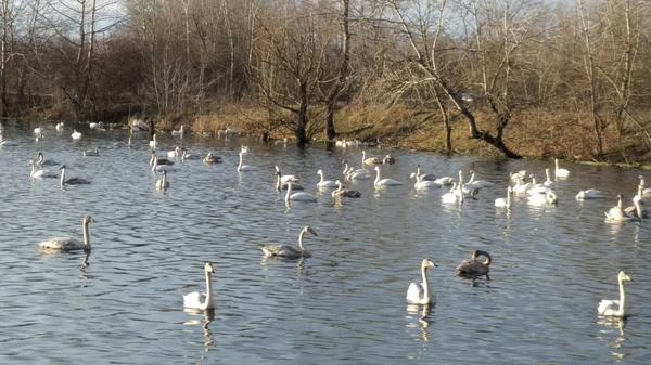 Лебеди Лебеди, Птичий грипп, Хадыженск, Зима, Краснодарский Край, Длиннопост, Моё
