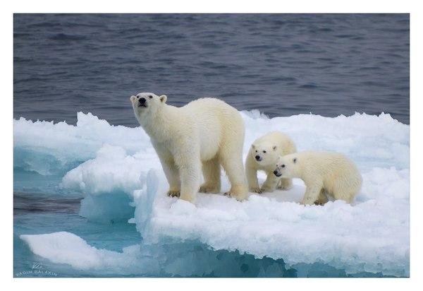Земля Франца-Иосифа Земля Франца-Иосифа, Северный Ледовитый океан, Архангельская область, Природа, медведь, Фото, пейзаж, лёд, длиннопост