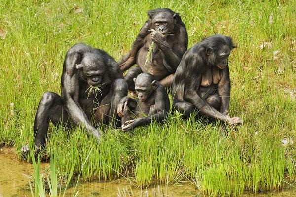 Река Конго не помешала скрещиванию шимпанзе и бонобо Антропогенез, антропогенезру, приматы, шимпанзе, бонобо, познавательно, длиннопост