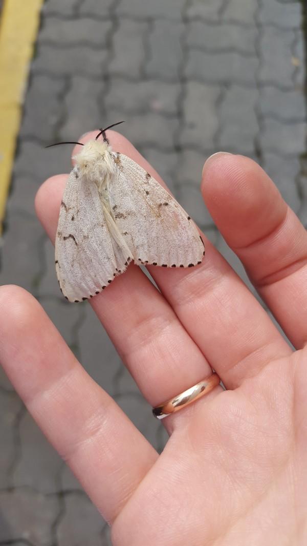 Безобидные бабочки и их коварное потомство длиннопост, бабочка, алтайский край, энтомология, Природа
