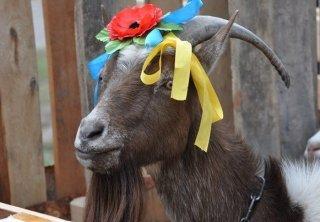 На Украине прошел конкурс красоты среди коз Коза, Украина, Конкурс красоты, Козафест