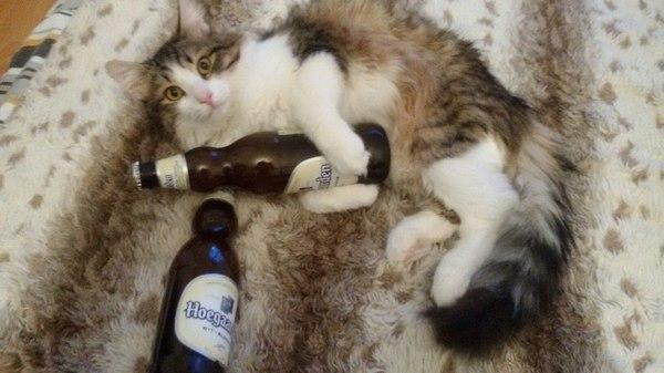 Кот алкоголик - горе в семье Кот, Пиво, Хугарден, Прикол