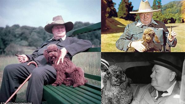 Тот случай когда собака не похожа на хозяина Собака, пудель, Черчилль