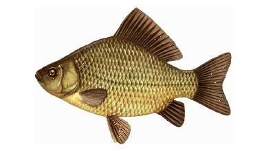 Карась - рыба моей мечты. Длиннопост, Рыбалка, Рыба, Карась, Фото, Текст, Ихтиология, Экология
