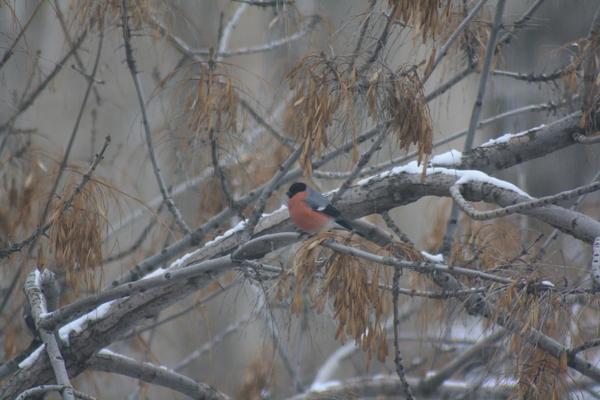 Снегирь Григорий за моим окном Снегири, Природа, Птицы