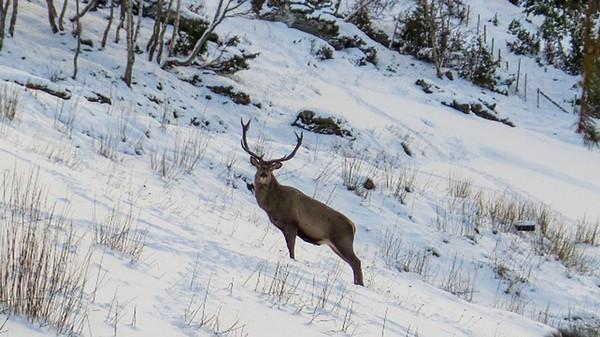 В Норвегии олень ежедневно навещает семью в знак благодарности за спасение События, Общество, Животные, Норвегия, Олень, Благодарность, Спасение, Liferu, Длиннопост