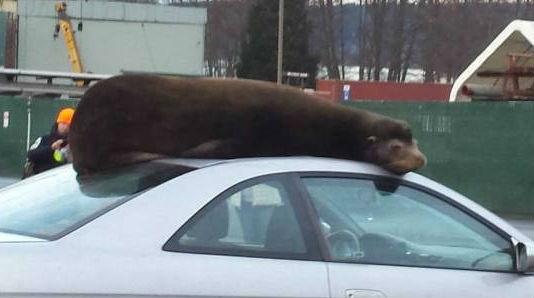 В США морской лев решил вздремнуть на крыше авто США, страны, новости, морской лев, авто, сон, крыша, Животные, видео