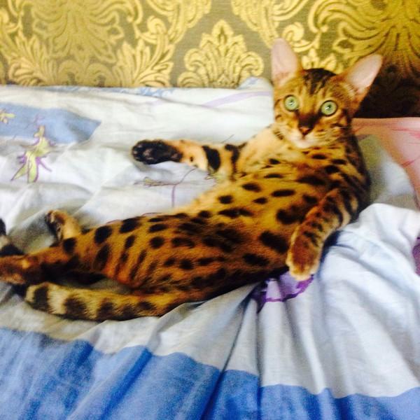 Чё надо? Кот, Бенгал, Бенгальская кошка, Отвлекли, Тег