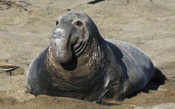 фото морской слон
