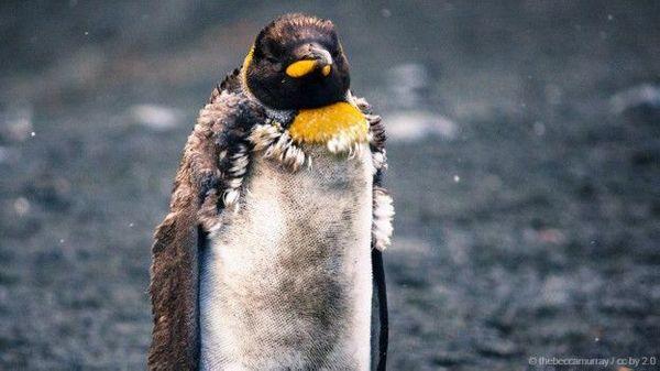 Пингвины все чаще становятся жертвами сексуального насилия! пингвины, морской котик, насилие, теги явно не мое