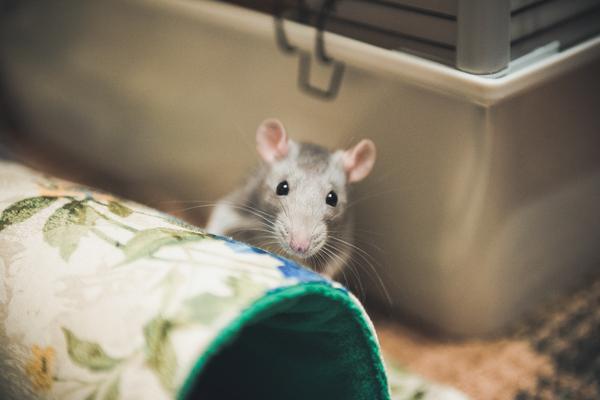 Страшный зверь ^_^ Крыса, Декоративные крысы, Фото, Фотография, Животные, Грызуны, Длиннопост