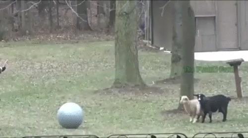 Света жопа и коза
