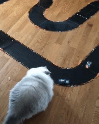 Гигантский персидский кот блокирует трассу