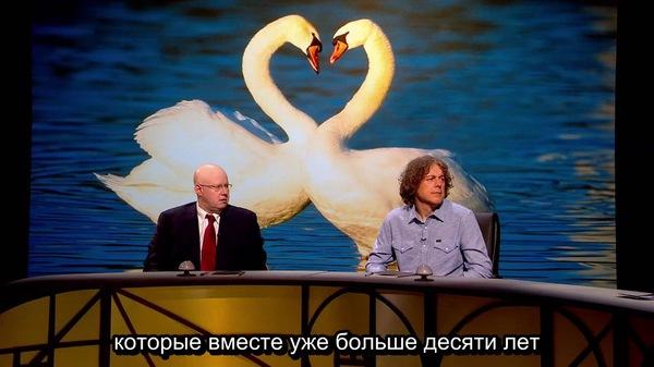 Любовная парочка раскадровка, Любовь, лебеди, птицы, Шоу, программа, Quite Interesting, Природа, длиннопост