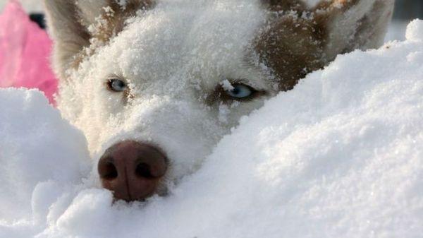 На Алтае собака согревала брошенного на морозе ребенка Новости, Собака, Спасла жизнь, Алтай, Мороз, Дети, Животные, Россия