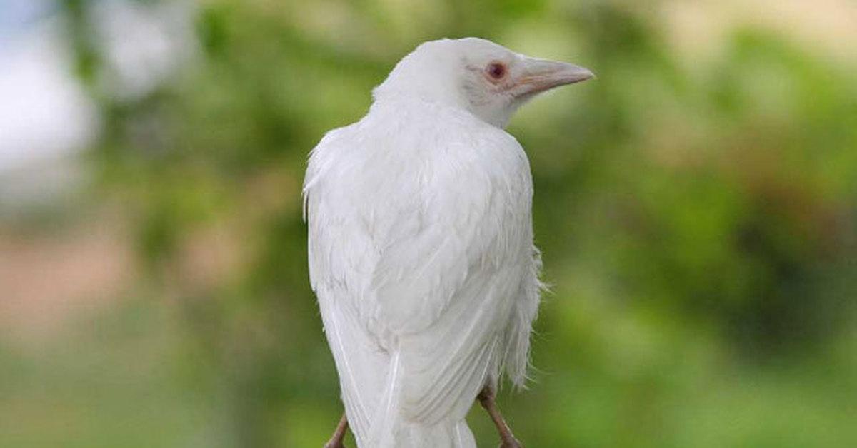 короткое редкая белая ворона фото надиктованы людьми четкими