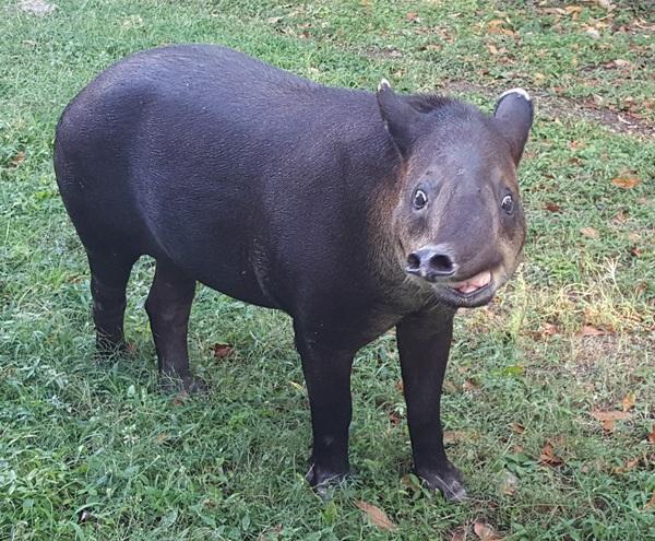 Тапир, который видел некоторое дерьмо
