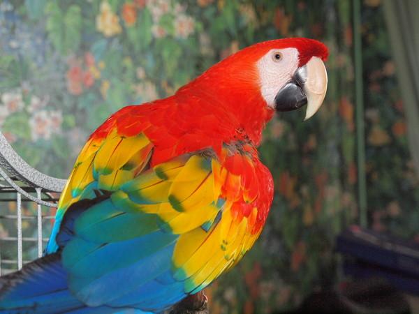 Попугай ара отзывы владельцев