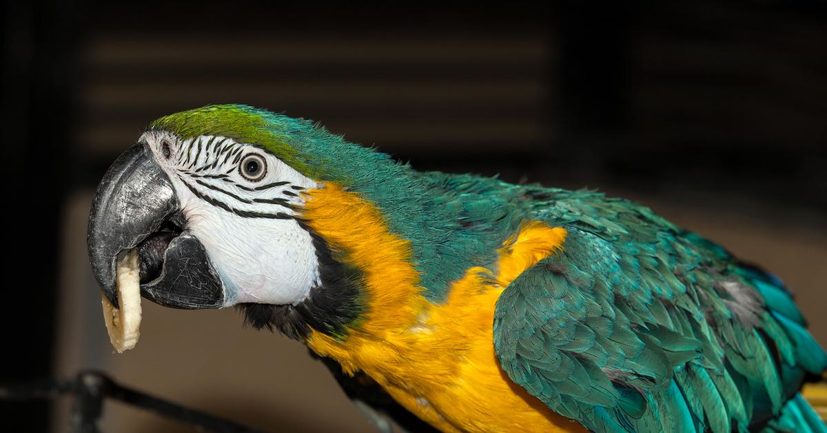 Попугай ара характер