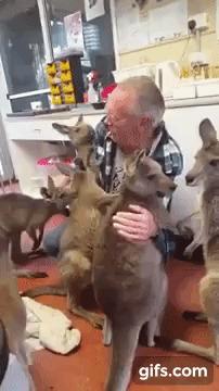 Каждый получит обнимашки. Видео, Гифка, Кенгуру, Австралия, Животные, Объятия