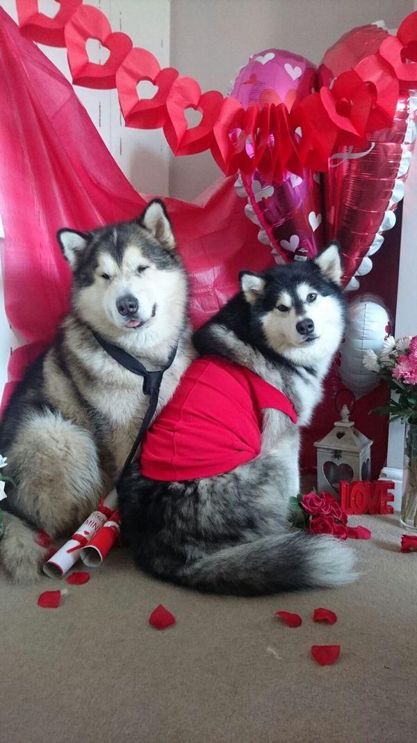 Подборка моих любимых собачек Фила и Нико на День Святого Валентина Собака, милота, Фил, Нико, День святого валентина, длиннопост