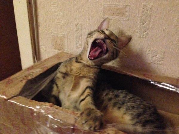 Когда закончилось печенье Кот, Печенье, Коробка, Крик
