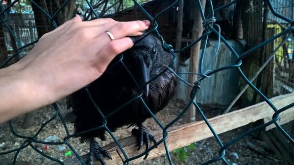 Ворон в зоопарке, который очень любит ласку, или любовь и вороны.