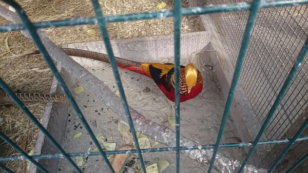 Золотой фазан. Зоопарк, Фазан, Длиннопост