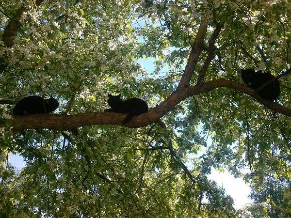 Коты прилетели Кот, Черный кот, Яблоня, Фотография, Картинки, Весна