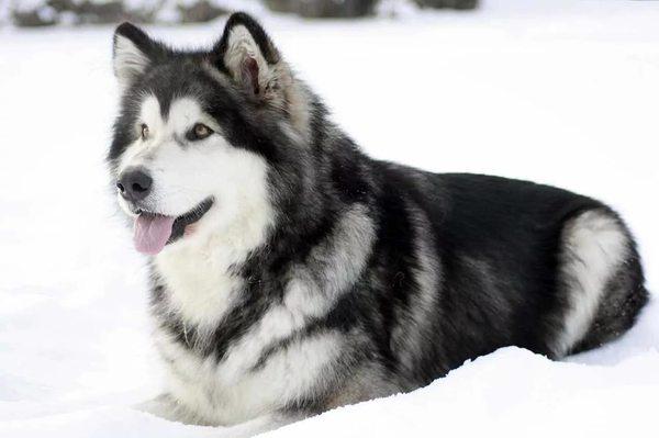 Как отличить хаски от маламута хаски, Аляскинский маламут, Собака