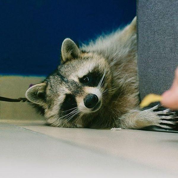 И тут я понял, что люблю больше своей жизни... енот, в красноярске, raccoon, Животные, Дедушка Бубу, Чипсы