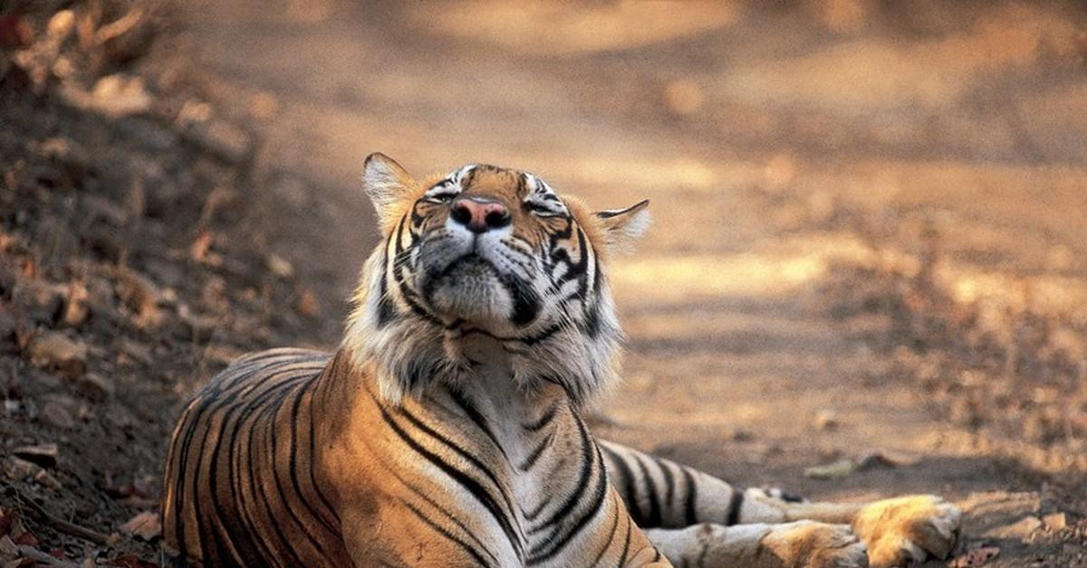 веселый тигр фото нам сказал