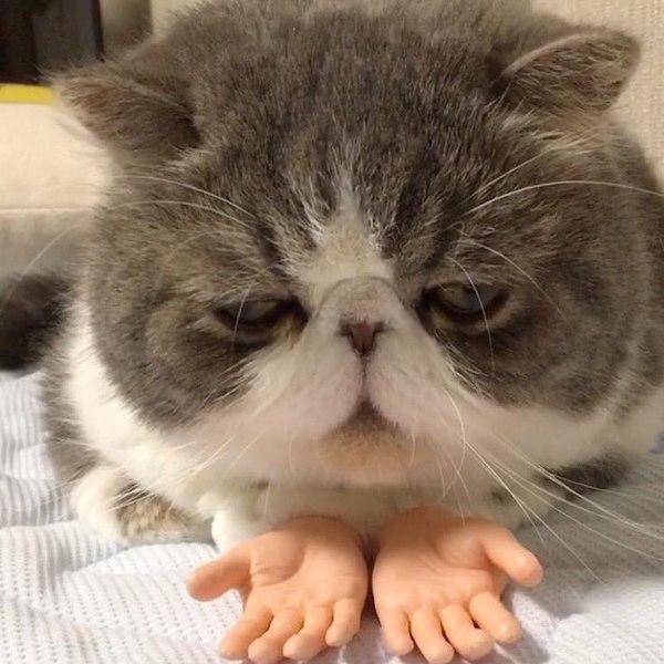Cat scream meme