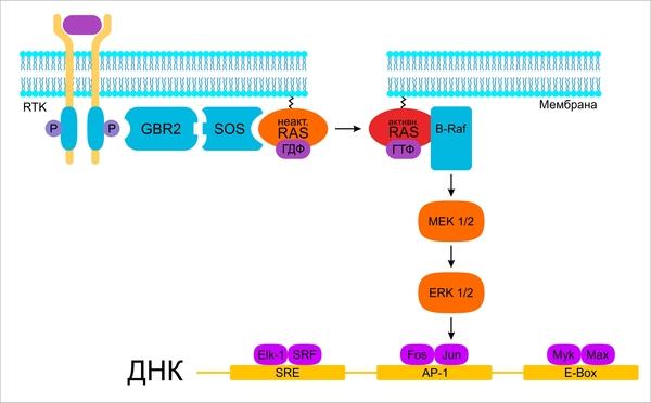 Внутриклеточные сигнальные пути и их роль в возникновении опухолевых клеток Онкология, Рак, Биология, Длиннопост, Биохимия, Медицина