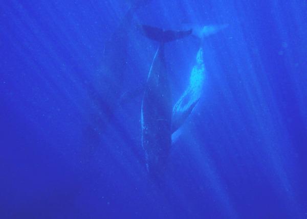 Горбатые киты в Южном полушарии стали сбиваться в «супергруппы» Горбатые киты, Усатые киты, миграции, Наблюдение, наука, млекопитающие, длиннопост