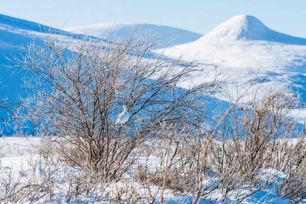 Белоснежный март Чукотки Чукотка, лиса, фотография, Снег, март, Природа, пейзаж, Россия, длиннопост