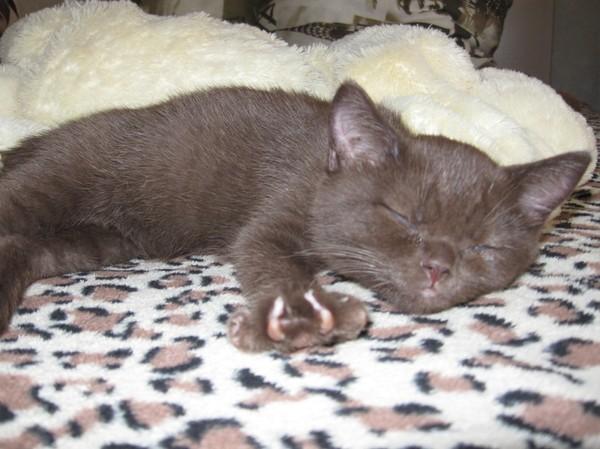 Первые дни. Кот, Британцы, Домашние животные, Длиннопост