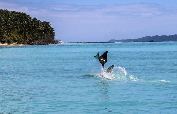 Скат улетел от напавшей на него акулы-молота,но обещал вернуться) скат улетел, акула-молот, карибы, длиннопост