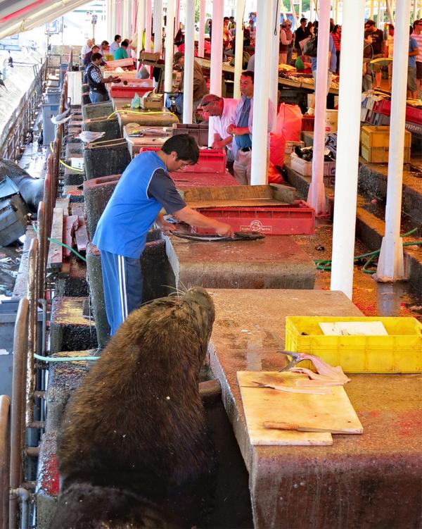 Свободная касса! морской лев, рыбный рынок, видео