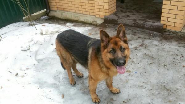 Найдены две овчарки в Пушкино мкр зааеты ильича Пушкино, породистые собаки, Помощь