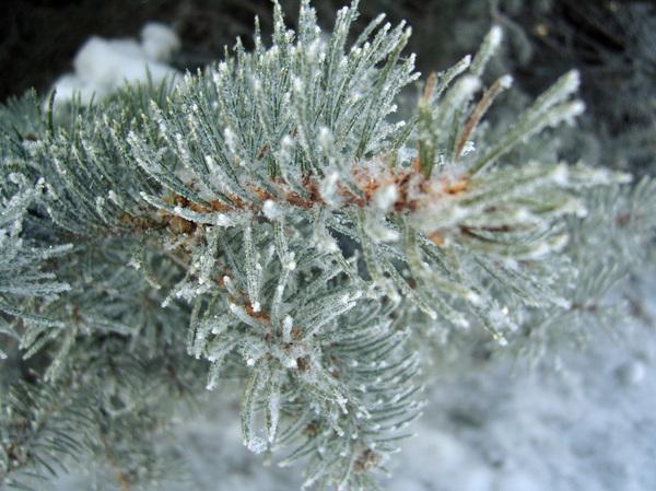 Зимние еловые лапки Фотография, Макро, Ёлка, Иней, Туя, Длиннопост