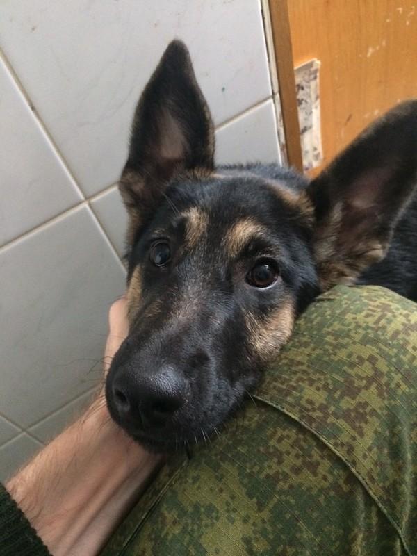 Найдена собака, овчарка, СПб Собака, Потеряшка, Санкт-Петербург, Животные, Выборгский район, Помощь